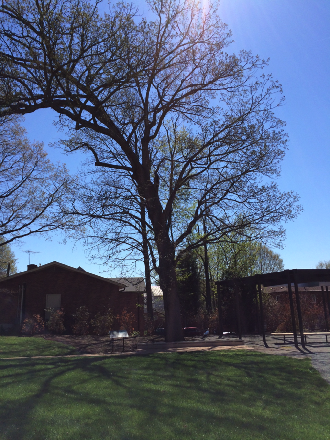 Figure 3: The last remaining White Oak tree in the South Lawn area. Photo taken April 16, 2014.