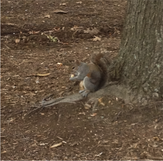 Figure 1: Squirrel that stole my cookie bait.
