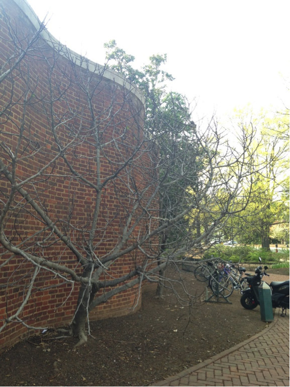 Fig tree outside Gilmer Hall.
