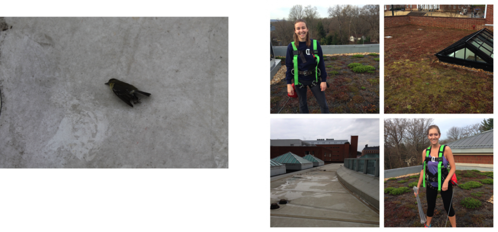 Above left, a deceased bird found on the UVA Hospital rooftop beneath a series of patients' windows. Above right, two team members wearing harnesses while on top of the South Lawn rooftop (Gibson), along with the Hospital rooftop (bottom left in the photo collage), and the rooftop patio on top of Garrett Hall (top right in the photo collage).